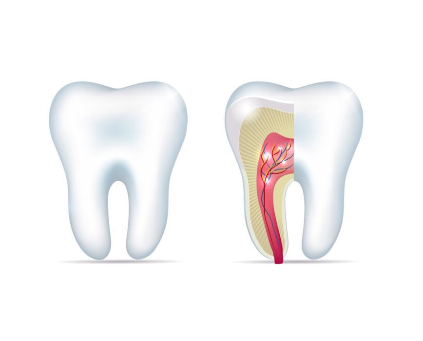 Diagram of Internal Tooth | Dentist in Bridgeton MO
