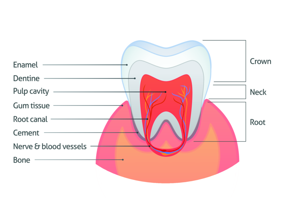 Diagram of a tooth with a dental crown near Maryland Heights MO